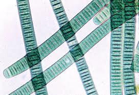 Algas Azules; Algas Verde-Azuladas; Bacterias Verde-Azuladas