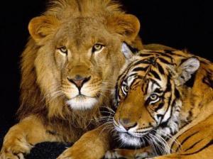 León y tigre Groupes Joëlle Adam
