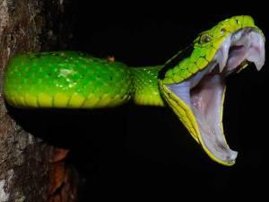 serpiente -vifer3
