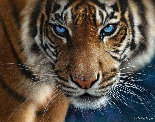 Tigre De Ojos Azules Amigos Mundiales