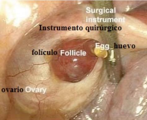 Ovulación humana 2