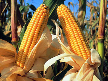 Mexico cosecha maiz CRÉDITOS NTX SERM