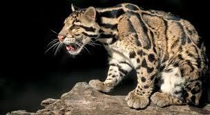 Leopardo nebuloso extinto
