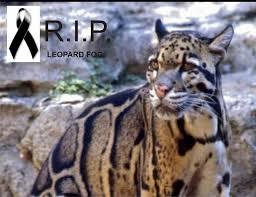 Leopardo nebuloso ya extinto
