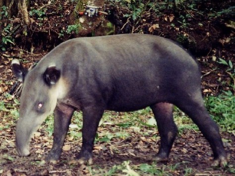 Balids-Tapir-in-a-national-park-of-Costa-Rica
