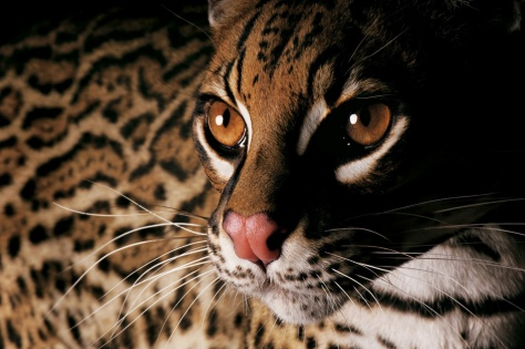 Ocelote Joel Sartore  NATIONAL GEOGRAPHIC BOOK RARE