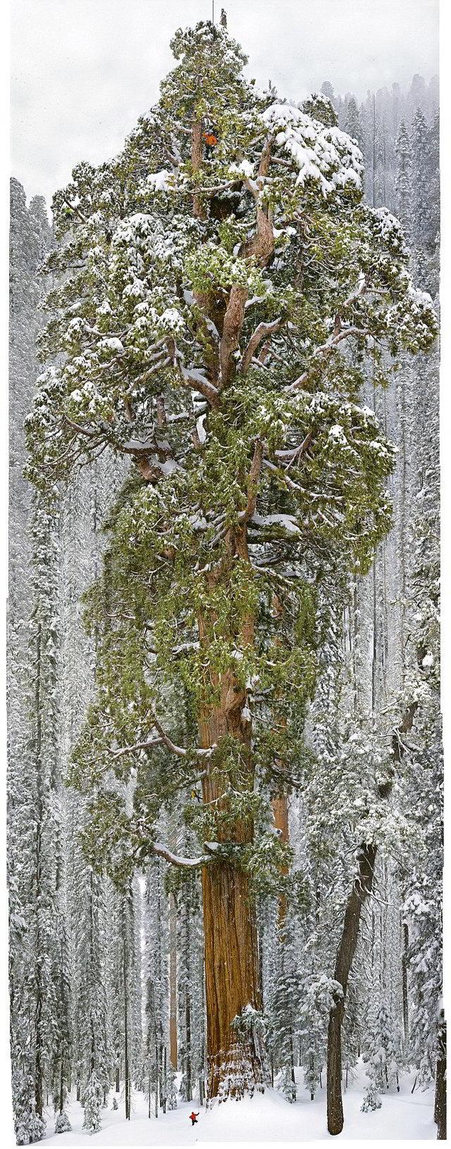 Científicos-sacaron-136-fotos-para-obtener-una-foto-completa-del-árbol-más-grande-del-mundo-06