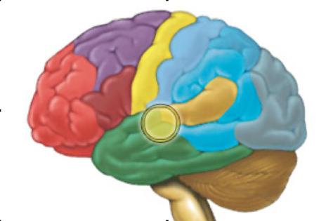 Ilustración de la localización de la glándula pineal