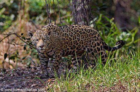 jaguar-hembra-panthera-onca-rio-san-pedrinho-pantanal-mato-grosso-Por Jose Maria Fernandez Diaz-Formenti