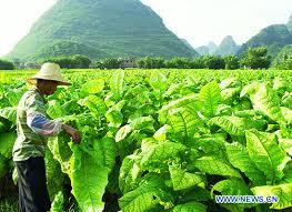 Cortando hojas de tabaco