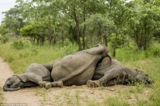 elefantes bajo los efectos del alcohol 7