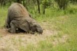 elefantes bajo los efectos del alcohol 6