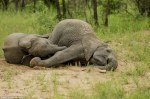 Elefantes bajo los efectos del alcohol 4