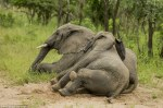 elefantes bajo los efectos del alcohol 1
