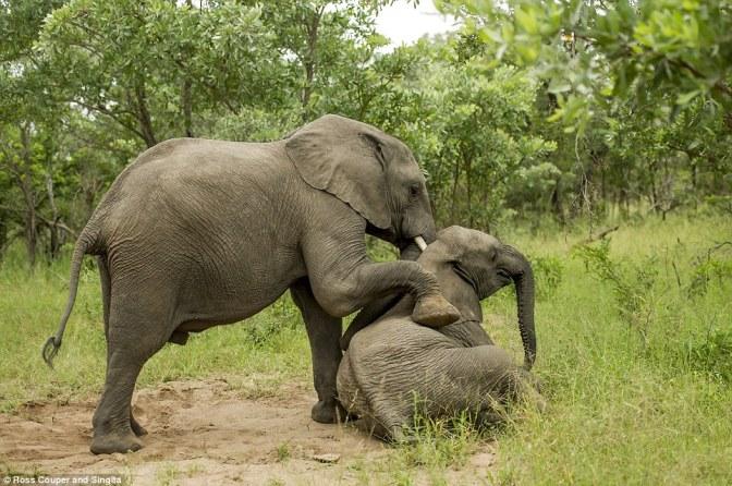 Elefantes borrachos por comer exótica fruta GALERÍA DE FOTOS