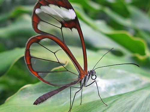 Mariposa Transparente – Espejitos