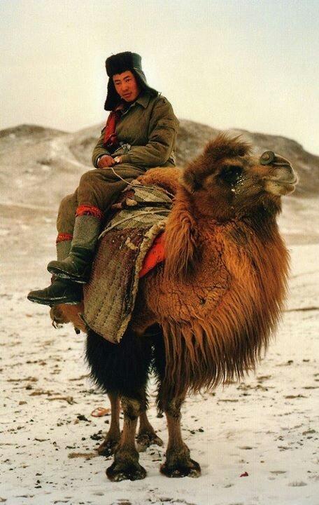 Camello bactriano 2 jorobas Desierto Gobi