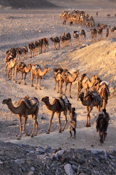 Caravana de camellos dromedarios