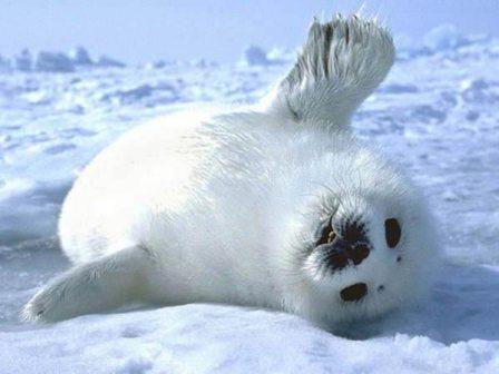 foca bebé especie en peligro de extinción