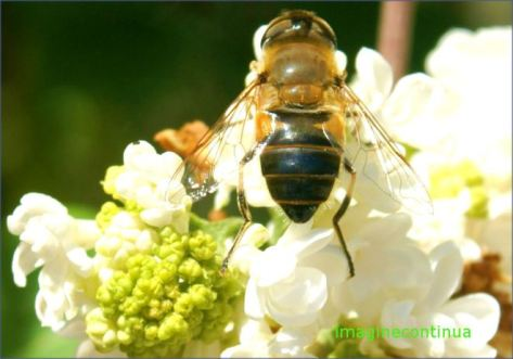 abejas musculita
