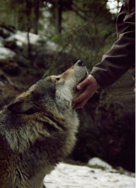 acariciando al lobo