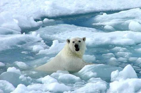 calentamiento oso polar