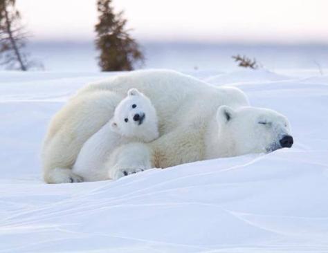 Mama osa polar con su osezno