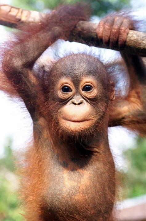 orangutan-orangutans-