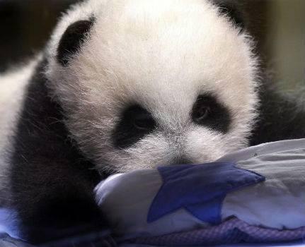 pequeño oso panda gigante del Zoológico Aquarium de Madrid