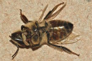 abeja muerta
