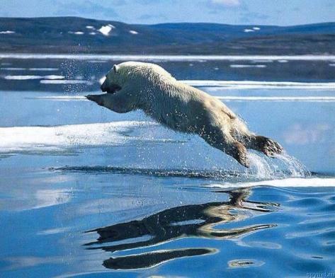 Oso polar sin hielo