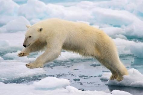 Osos polares se quedan sin hielo