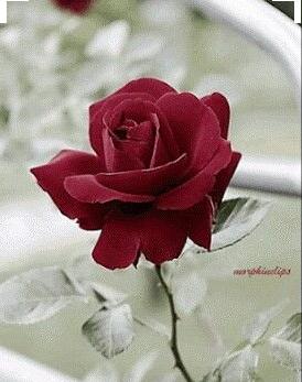 rosa-roja-con-espinas