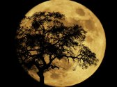 Large full moon with the silhouette of an oak tree.