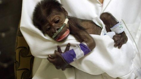 bebe chimpance