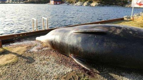 ballena-muerta-a-causa-de-bolsas-de-plastico